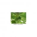 Persea americana (Avocado) Mothertincture 125ml