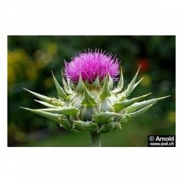 Milk thistle (Cardo Mariano - Silybum marianum) 60 Pills 250mg