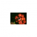 Guarana (Paullinia cupana) Mother tincture 125ml