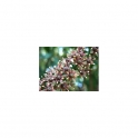 Jaborandi (Pilocarpus jaborandi) Mother tincture 125ml