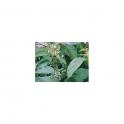 Jurubeba (Solanum paniculatum) Mother tincture 125ml