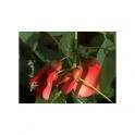 Mulungu (Erythrina mulungu) Mother Tincture 125ml