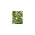 Pedra ume kaa (Myrcia sphaerocarpa) Insulin Plant Mother tincture 125ml