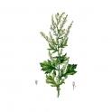 Mugwort - Artemisia vulgaris - (Artemisia)  250g