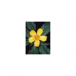 Damiana (Turnera diffusa) Mother tincture 125ml