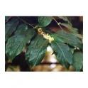 Casearia sylvestris (Guacatonga - Cha de Bugre) 1000g