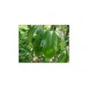Graviola (annona muricata) 500g