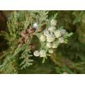Thuja occidentalis (Arbor vitae) 250g