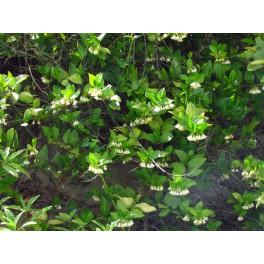 Chiococca brachiata (Cipo cruz) 250g