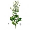 Mugwort - Artemisia vulgaris - (Artemisia)  120 caps 300mg