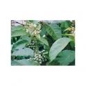 Solanum paniculatum  (Jurubeba)  120 caps 300mg