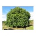 Jambul - Syzygium jambolanum  120 caps 300mg