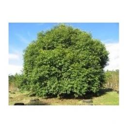 Jambul - Syzygium jambolanum - 250g