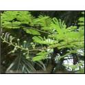 Jurema (Mimosa hostilis) CH2  125ml