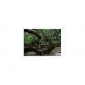 Cashew - Anacardium occidentale- 120 Caps 300mg