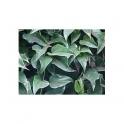 Sommer-Efeu - Guaco- (Mikania cordifolia) 120 Caps 300mg