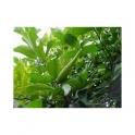 Gymnema sylvestre (Gimnema sylvestre) Sugarkiller powder  250g
