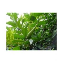 Gymnema sylvestre (Gimnema sylvestre) Sugarkillertea  250g