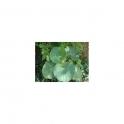 Piper umbellatum (Pariparoba) Mother tincture 125ml