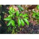 Anchieta Salutaris (Cipo Suma)  Wurzeln 250g