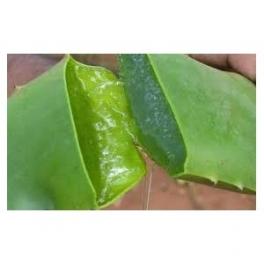Aloe Vera - Babosa - Mother tincture