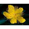 Black currant (hipericum perfuratum) HIPERICO  120 caps 300mg