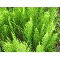 Horsetail - Cavalinha - (Equisetum arvense) 120 caps 300mg