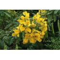 Sonnenhut - Sene - (Cassia angustifolia) 120 Kapseln 300mg