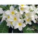 Agoniada (Plumeria lancifolia)  120 Capsules 300mg
