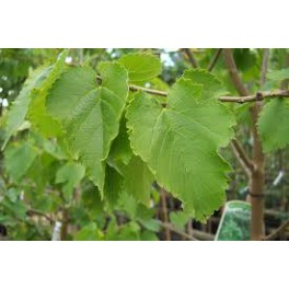 MULBERRY (Morus niger) 100 Pills