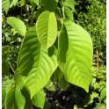 Annona muricata (Graviola)   250g