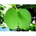 Bauhinia fortificata (Pata de Vaca) Anti diabetes tea  500g
