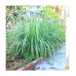 Lemongrass - Capim Limao - (Cymbopogon nardus)  30g