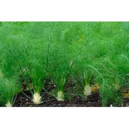 Fennels - Funcho (Foeniculum vulgare) 30g