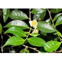 Gruener Tee - Cha verde  - (Camellia sinensis)  30g