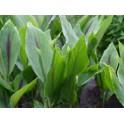 Zedoary - Zedoaria (Curcuma zedoaria) 100 Pills