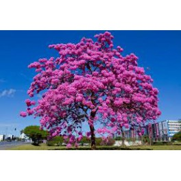 Lapacho - Ipe Roxo - (Tabebuia avellanedae) Inca medicine against cancer 120 caps 300mg