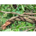 Ayahuasca (Banisteriopsis caapi) 120 capsules 300mg