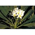 Agoniada  (Plumeria lancifolia)  1 liter