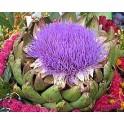 Alcachofra  (Artischoke)  Cynara scolymus L.  1 liter