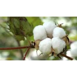 Algodoeiro (Gossypium) 1 liter