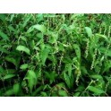 Erva do Bicho (Polygonum acre) 1 liter