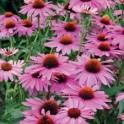Purpurfarbener Sonnenhut (Echinacea purpurea)  1 liter