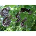 Aristolochia cymbifera  mother tincture 100ml