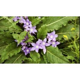 Mandragora officinarum Mother tincture 125ml