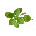 Oregano (Origanum vulgare) 30g