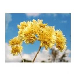 Roman Chamomile - Macela - (Anthemis nobilis L) 30g