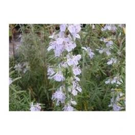 ROSEMARY - Alecrim - (Rosmarinum officinalis) 30g