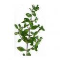 Sete Sangrias (Cuphea carthagenensis) 30g