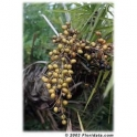 Saw Palmetto  - Sabal - (Serenoa reppens) 120 pills 300mg